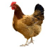 Managing Heat Stress in Poultry